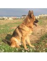 Large Dog Collar Spanish Flag